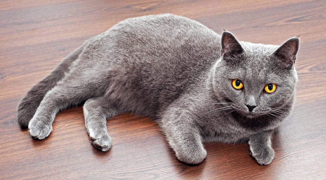 القطط البريطانية ذو الشعر القصير