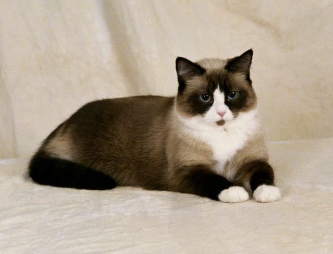 القطط ذو القدم البيضاء
